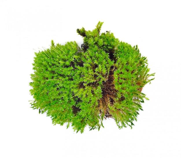 Musgo verde isolado no branco