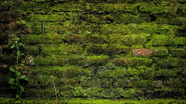 Musgo verde na parede de tijolos
