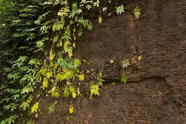 Musgo verde na parede velha