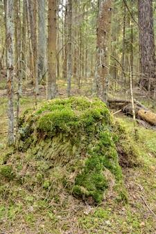 Musgo verde no toco de musgo na floresta