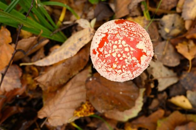 Mushroom fly agaric na grama na floresta de outono. tóxico e alucinógeno vermelho venenoso amanita muscaria fungo macro fechar em ambiente natural. vista do topo