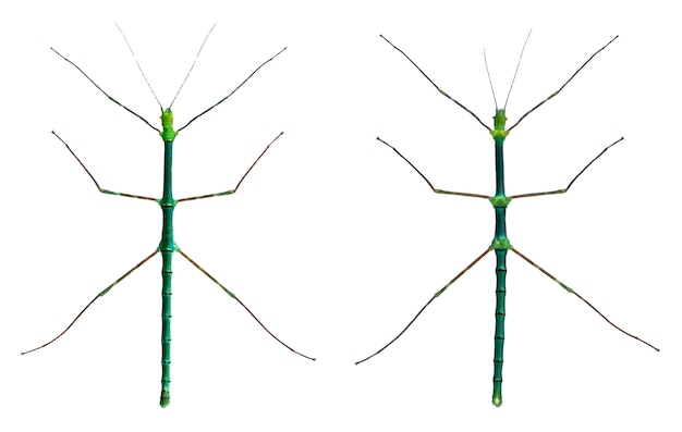 Myronides sp, insetos, na frente de fundo branco