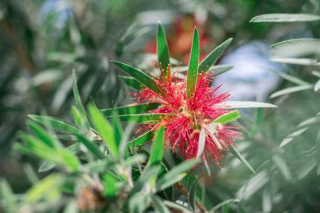 Myrtaceae flores vermelhas