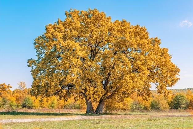 Na clareira existem duas enormes árvores antigas de carvalhos
