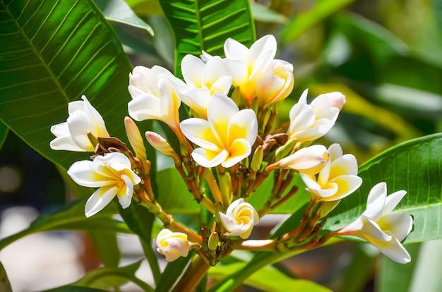 Na ilha de creta (grécia) crescem lindas flores brancas