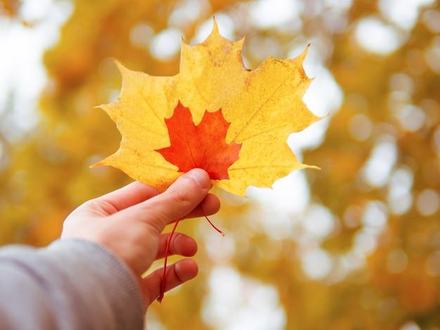 Na mão dois os tamanhos e cores diferentes da folha de bordo. amarelo e vermelho. humor de outono