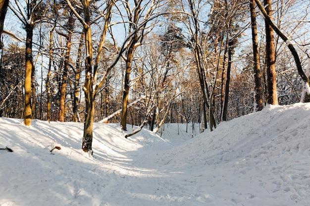 Na neve, árvores de folha caduca no inverno, clima frio de inverno na natureza após nevascas e geadas, árvores de folha caduca de diferentes raças após a queda de neve no parque