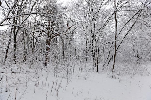 Na neve, árvores decíduas no inverno, clima frio de inverno na natureza após nevascas e geadas