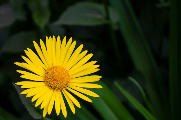 Na primavera, as flores amarelas brilhantes de doronicum floresceram no jardim em maio.