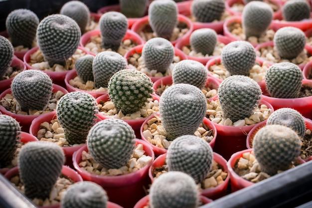 Na superfície da mesa há muitos pequenos cactos plantados em pequenos vasos.