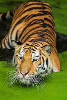 Nadada dos tigres