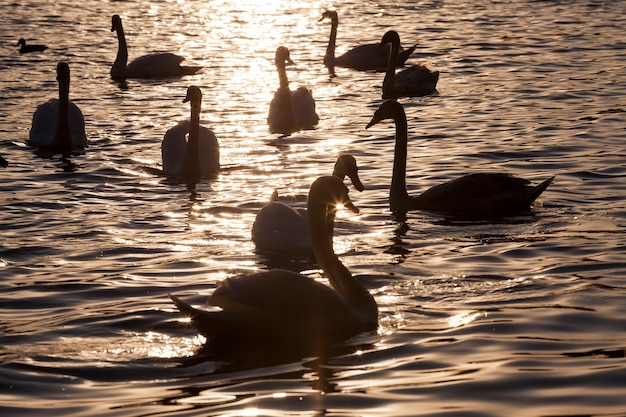 Nadando ao amanhecer do sol grupo swans, muitos cisnes na primavera do ano nos raios dourados durante o amanhecer ou pôr do sol, a primavera do ano no lago com um bando de cisnes