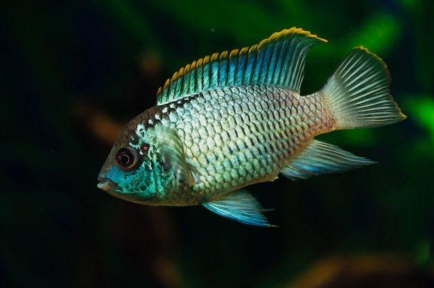 Nannacara aquários de peixes de aquário azuis ciclídeos.