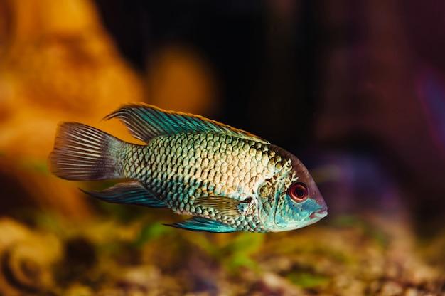 Nannacara. o peixe azul flutua em um close-up do aquário em casa.
