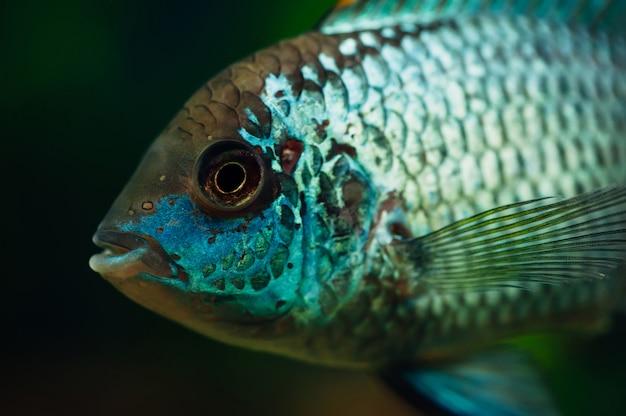 Nannacara peixe azul.