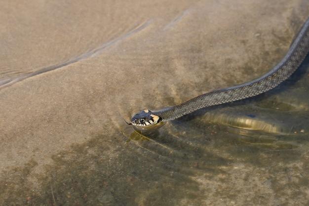 Não é uma cobra verde-escura venenosa (cobra grama), com manchas amarelas na cabeça, nada em águas transparentes