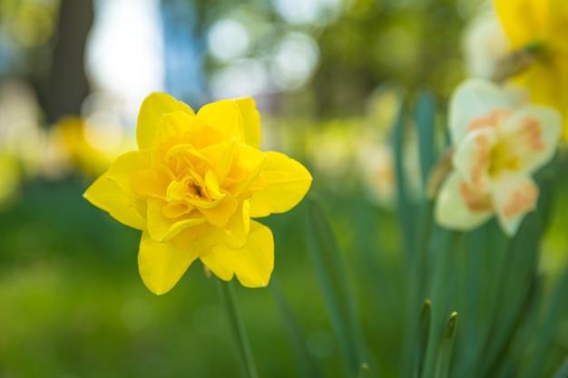 Narciso amarelo de florescência no prado verde