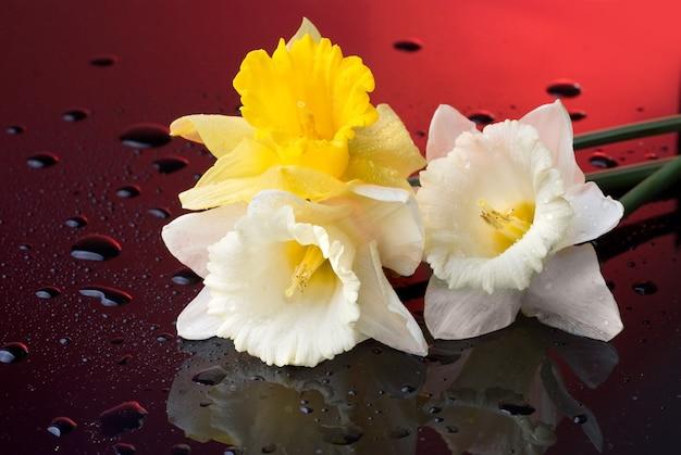Narciso amarelo e branco sobre fundo vermelho com gotas de água