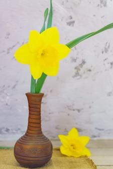 Narciso amarelo florescendo em vaso de barro na parede de concreto