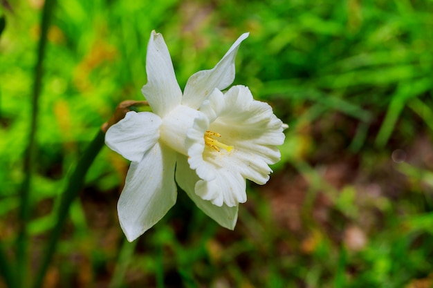 Narciso amarelo no dia ensolarado o jardim. as primeiras flores da primavera.