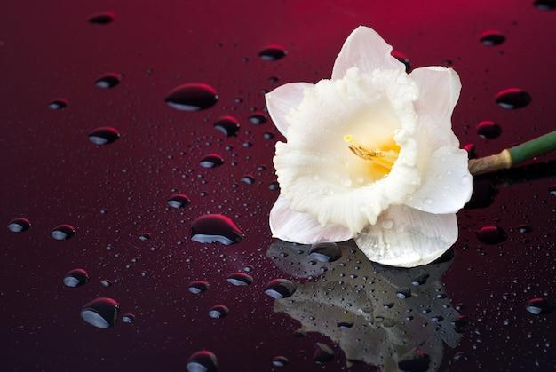 Narciso branco em fundo vermelho com gotas de água