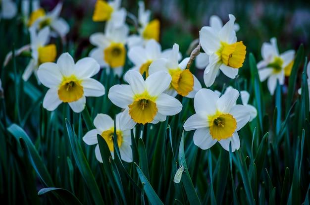 Narciso de flor de primavera