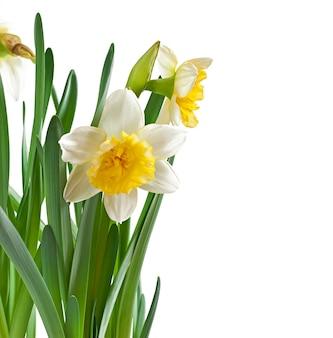 Narciso de flores de primavera isolado.