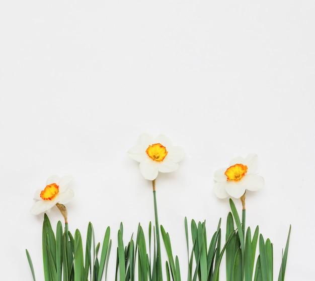 Narciso de flores em branco