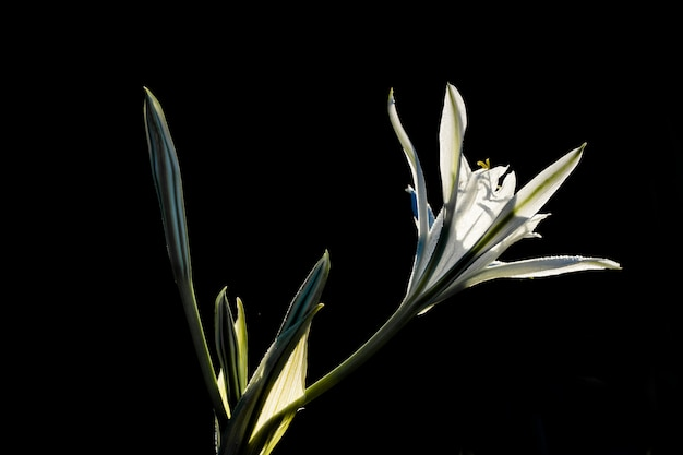 Narciso do mar, pancratium maritimum.