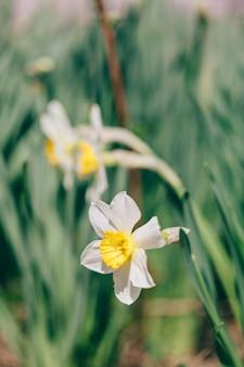 Narciso flores, crescendo, estufa, primavera, buquê