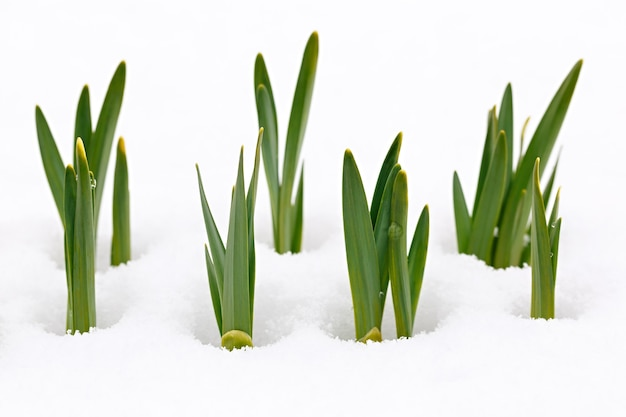 Narciso no jardim, sob a neve da primavera