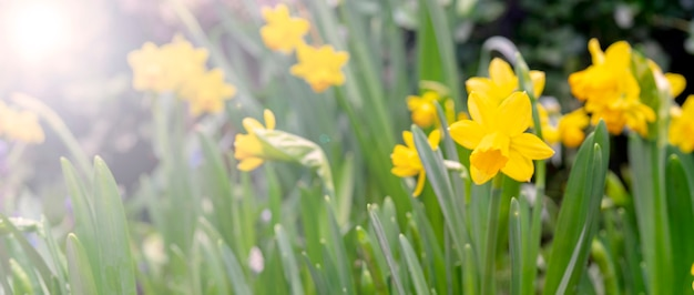 Narcisos amarelos amarelos bonitos. o começo da primavera.