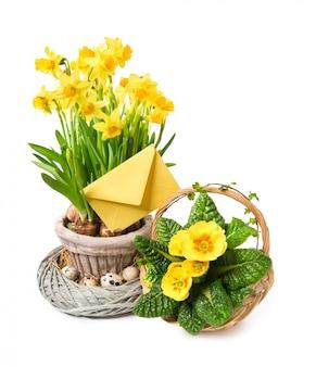 Narcisos amarelos e primrose amarelos na páscoa branca, feliz!