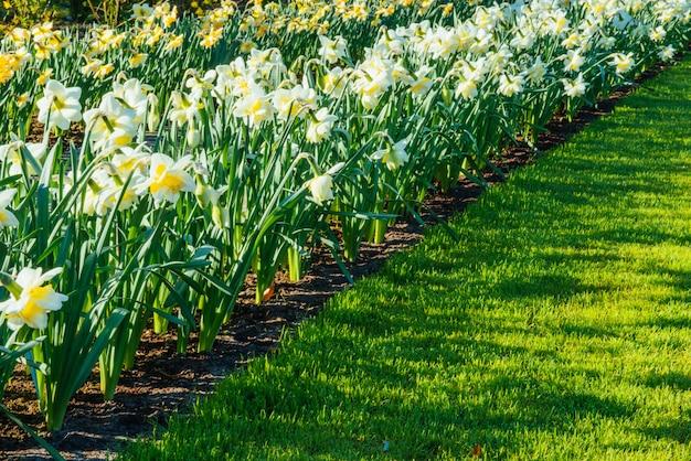 Narcisos amarelos nos jardins