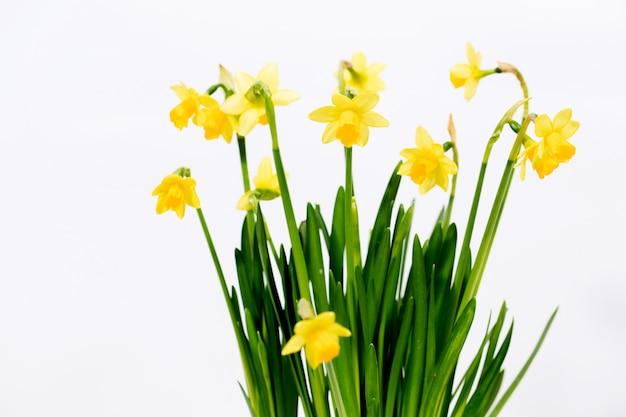 Narcisos amarelos pequenos