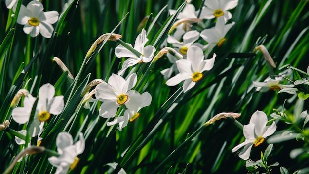 Narcisos brancos em um jardim
