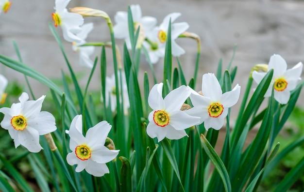 Narcisos brancos na primavera florescem no jardim