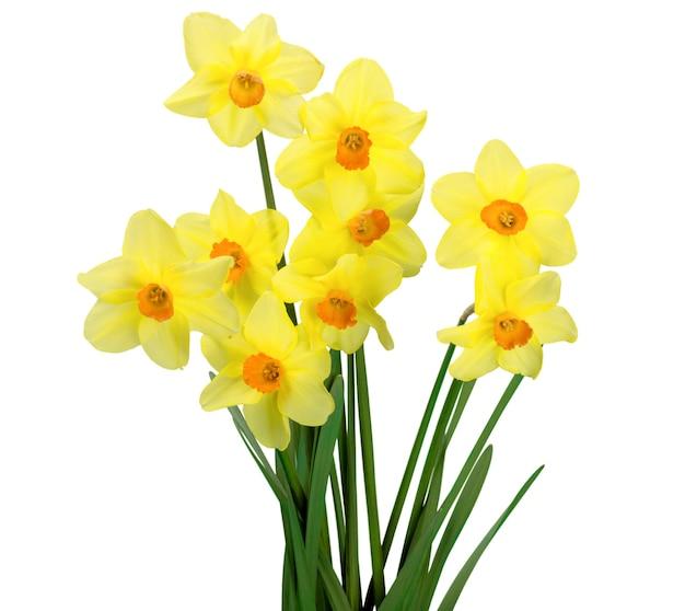 Narcisos isolados no fundo branco, flores da primavera