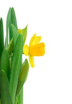 Narcisos na grama verde sobre branco