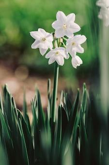 Narcisos paperwhite em flor, close-up