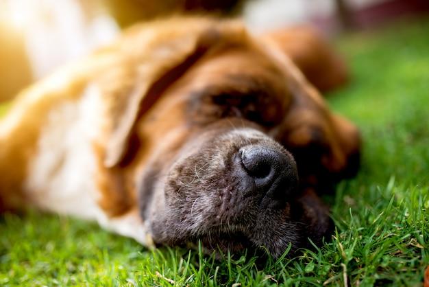 Nariz de cachorro, cachorro dormindo na grama verde. dia de sol de verão.