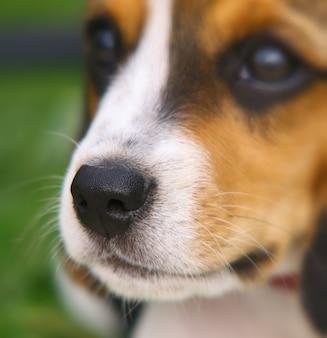 Nariz de filhote de cachorro fofo beagle