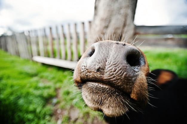 Nariz engraçado de vaca