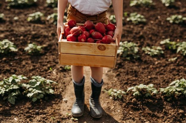 Nas mãos de uma caixa com rabanetes coletados no jardim.