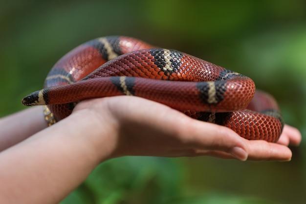 Nas palmas das mãos fica a cobra real, contra o pano de fundo da vegetação, um animal exótico