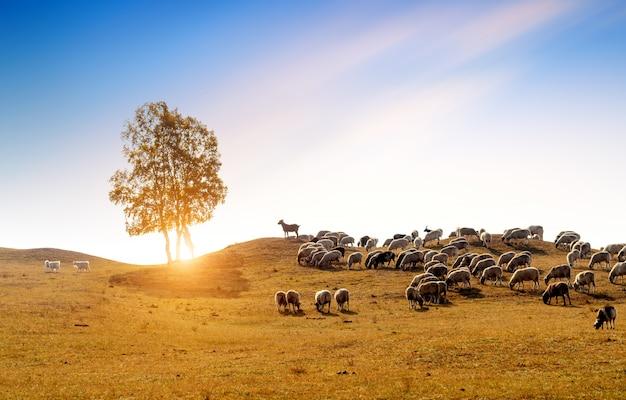 Nas pastagens de outono, as ovelhas estão pastando livremente. china, mongólia interior.