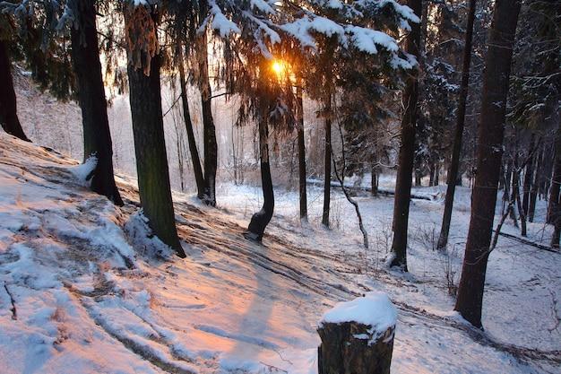 Nascer do sol em um parque de inverno, os raios do sol passam por um grande ramo de abeto