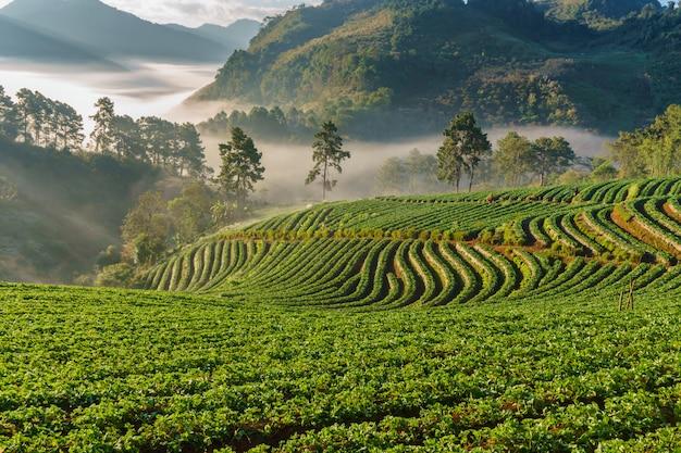 Nascer do sol manhã nublada no jardim de morango, vista da névoa da manhã no doi angkhang montanha