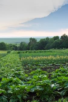 Nascer do sol na aldeia, canteiros com vegetais
