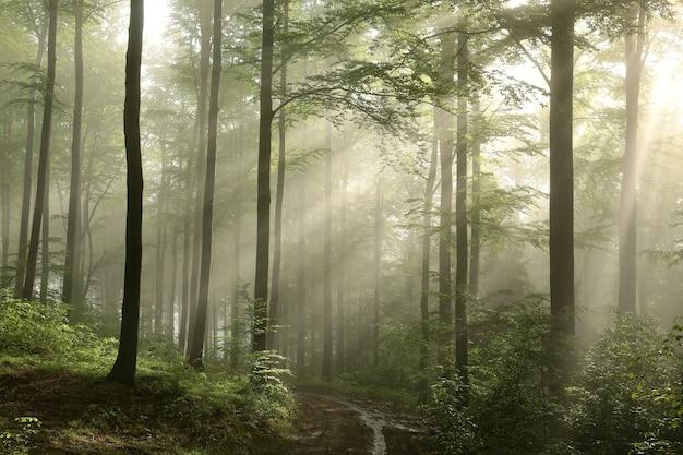 Nascer do sol na floresta de faias da primavera após a chuva